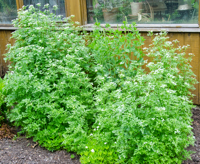 This large patch of chervil surprised us at the back of the house.