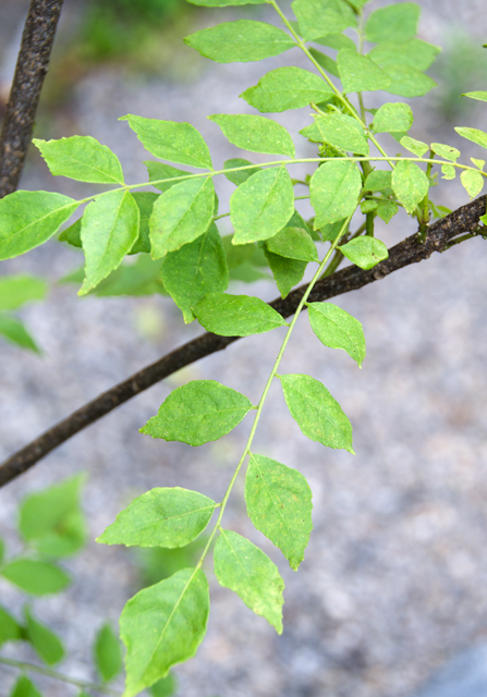 The curry leaf plant.