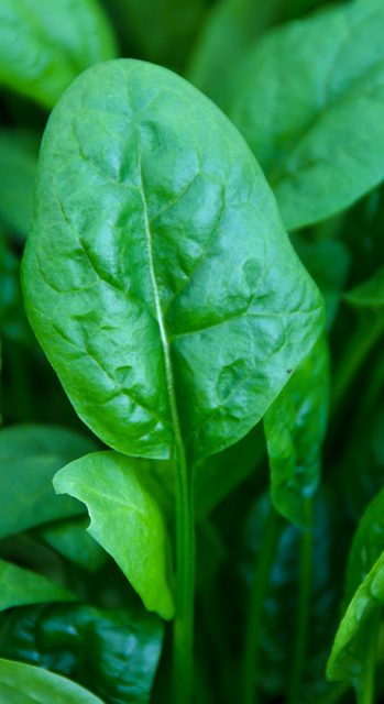 A new crop of spinach in the garden greenhouse is ready for harvest.