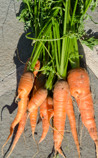 Maybe not the prettiest, but I love fresh carrots from the garden.